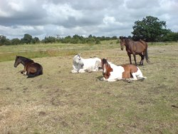 Why don't all horses in a field lie down together?