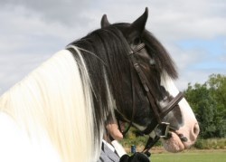 What does it mean when a horse's mane falls one side of the neck?